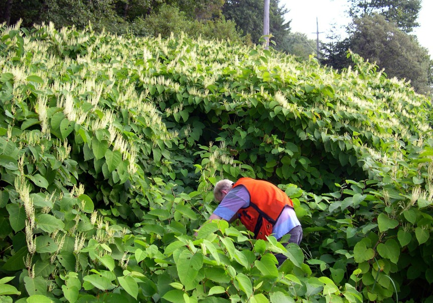 You know Japanese knotweed, whether or not you realize it