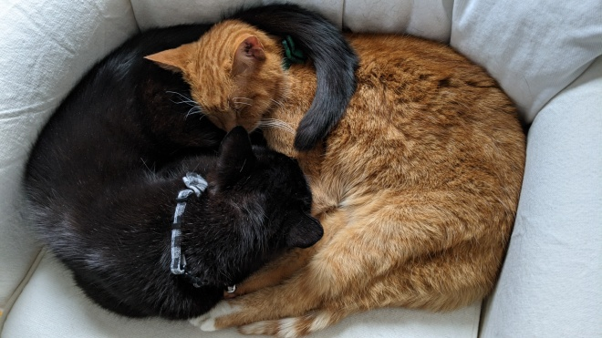 A black and orange cat curled together